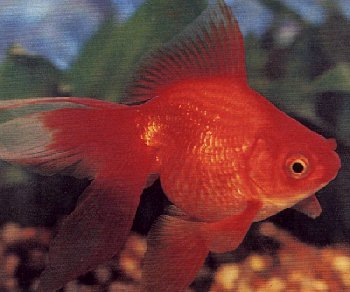 photo of a Gold Fish - siagold.jpg